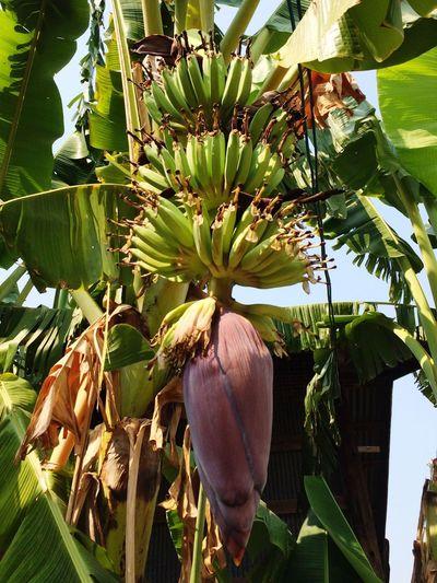 Banana Banana Bananaflower