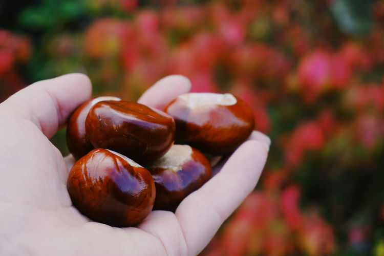 Close-up of hand holding chestnuts