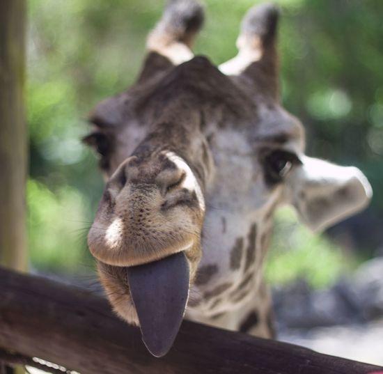 Giraffe Black Tongue Wildlife Shallow Field Of Depth Portrait Florida Zoo Brevard Zoo Humor In Nature The Portraitist - 2016 EyeEm Awards EyeEmNewHere The Great Outdoors - 2017 EyeEm Awards The Portraitist - 2017 EyeEm Awards Pet Portraits