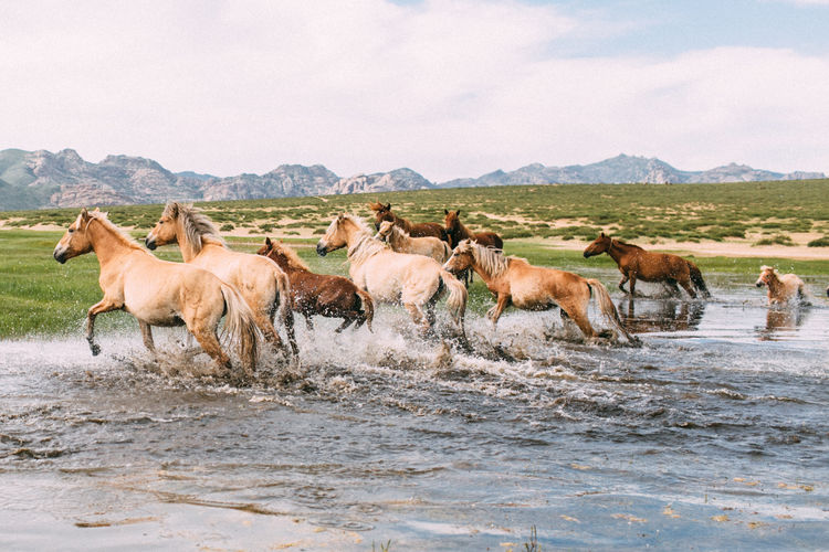 My last trip in Mongolia! Connected By Travel Animal Themes Animals In The Wild Cow Day Domestic Animals Landscape Large Group Of Animals Livestock Mammal Mountain Nature No People Outdoors Sky Water Wildhorses