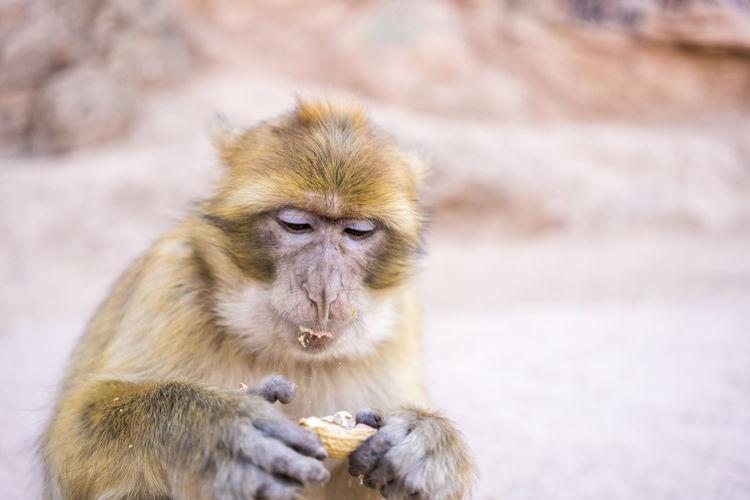 Portrait of meerkat eating fruit