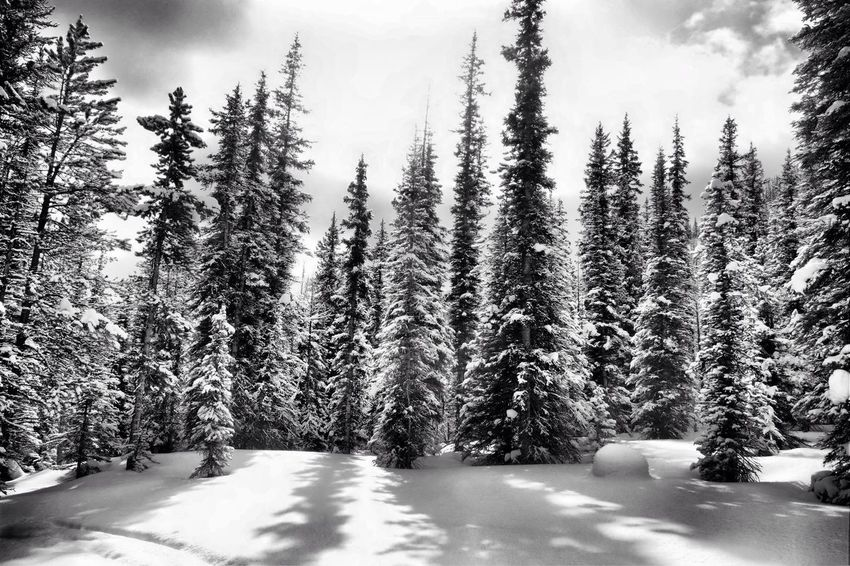 Monochrome morning. Trees Trees And Sky Shadows Snow ❄ Woods Silvered Northern Render Monochrome Monochromatic