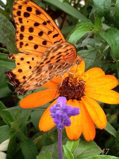 ストリームズーから Butterfly Flower Porn Tokyo Streamzoo