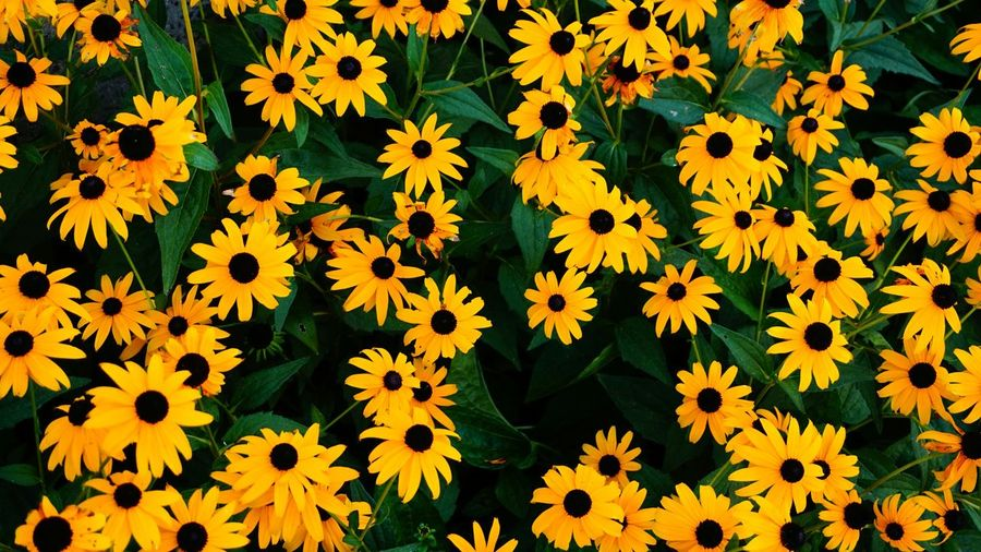 High Angle View Of Black-Eyed Susan Flowers Blooming Outdoors