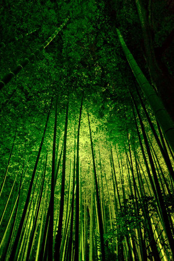 Chikurin (Bamboo forest) Art EyeEm Best Shots Fotoartsnippon Nippon Nippon Travel Bamboo Grove Beauty In Nature EyeEm Gallery Fine Art Photography Forest Green Color Japan Photography Kyoto, Japan Lush Foliage Nature Nightphotography Nippon Photography