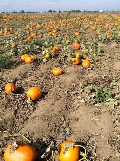 Pumpkin Patch Fall in Colorado