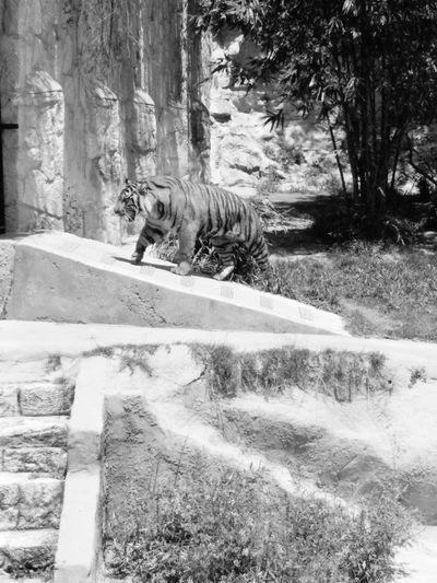 Blackandwhite Tiger Stripes