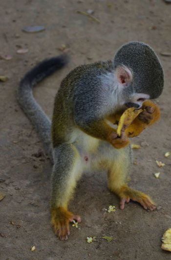 No People Turismo Ecologico Travel Colombia Monkey Nature Amazonas Banana Rainforest Animals In The Wild Squirrel Monkey Saimiri Sciureus Cute Animal Animal Eating Munching Banana Peel Tropical Rainforest