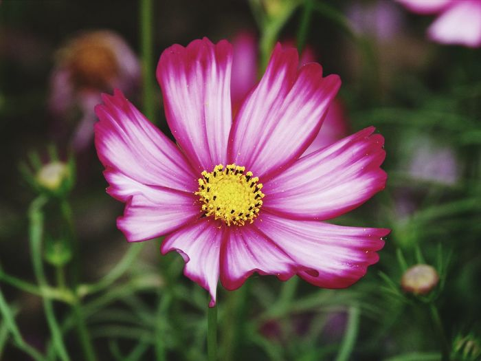 Flower love.….. Petal Nature Flower Head Close-up Pink Color Focus On Foreground Outdoors Freshness Beauty No People Beauty In Nature Plant Flower