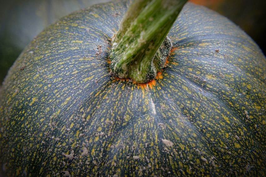 Early pumpkin Garden Pumpkin EyeEm Selects Close-up No People Growth Nature Day Plant Outdoors Beauty In Nature Textured  Freshness Focus On Foreground Macro