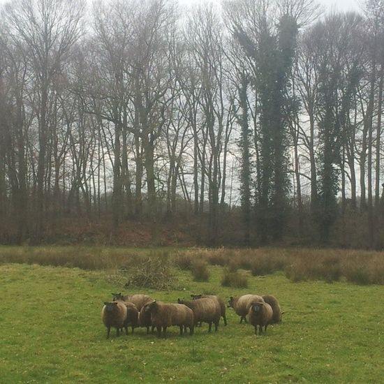 Sheeps Schaap Sky Trees bomen gras grass limburg