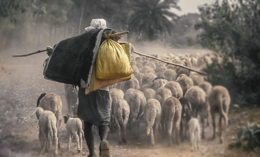 Rear view of man herding sheep
