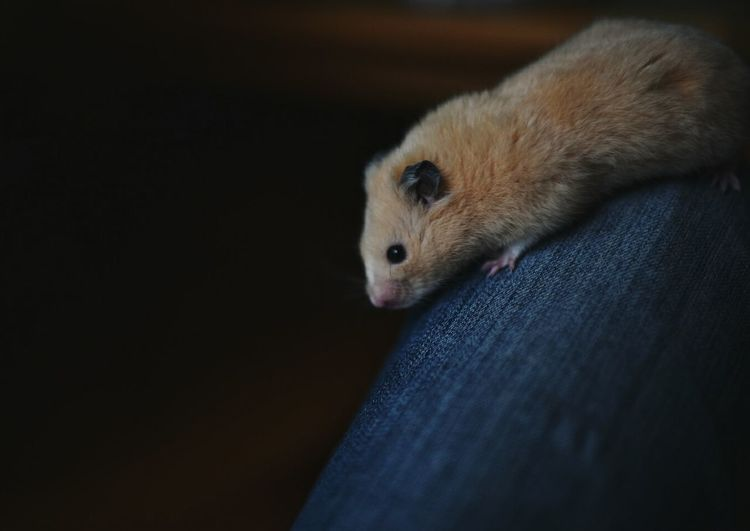 Close-up of hamster