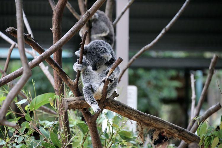 Koala on tree at zoo