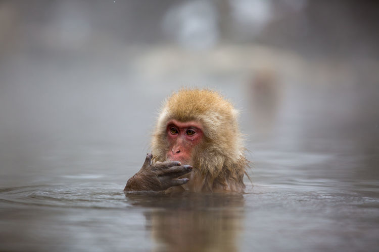 Animal Wildlife Animals In The Wild Baboon Cold Temperature Day Hot Spring Japanese Macaque Looking At Camera Mammal No People One Animal Outdoors Portrait Primate Reflection Selective Focus Water