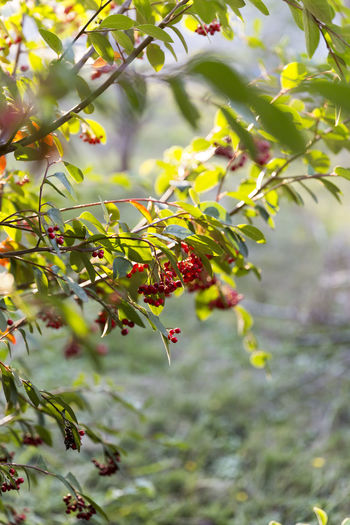 Animal Themes Beauty In Nature Branch Close-up Day Focus On Foreground Food Freshness Fruit Green Color Growth Leaf Nature No People Outdoors Plant Red Tree