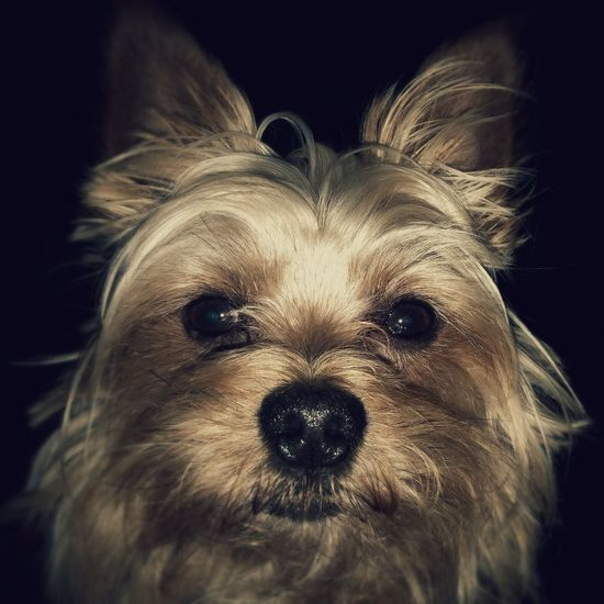 My Love ♥ Fido Dog Yorkshire Terrier I Love My Dog Animals