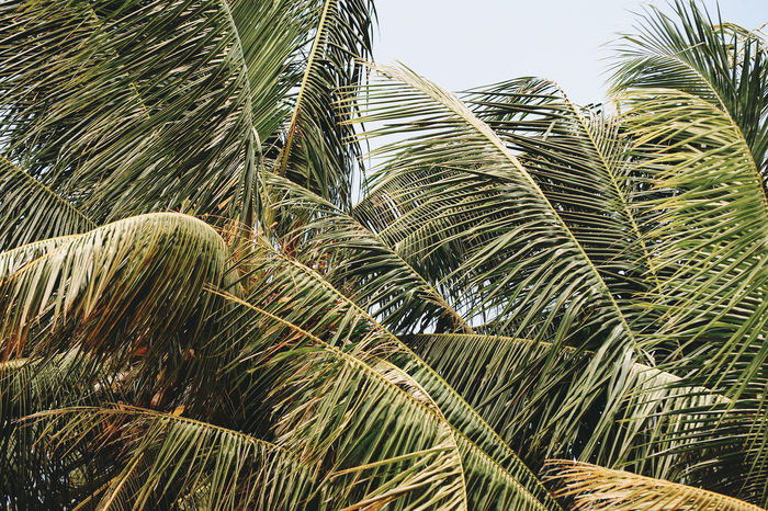 Phuket Thailand Agriculture Beauty In Nature Close-up Coconut Island Day Frond Green Color Growth Low Angle View Nature No People Outdoors Palm Frond Palm Leaf Palm Tree Plant Rice Paddy Sky Tranquility Tree