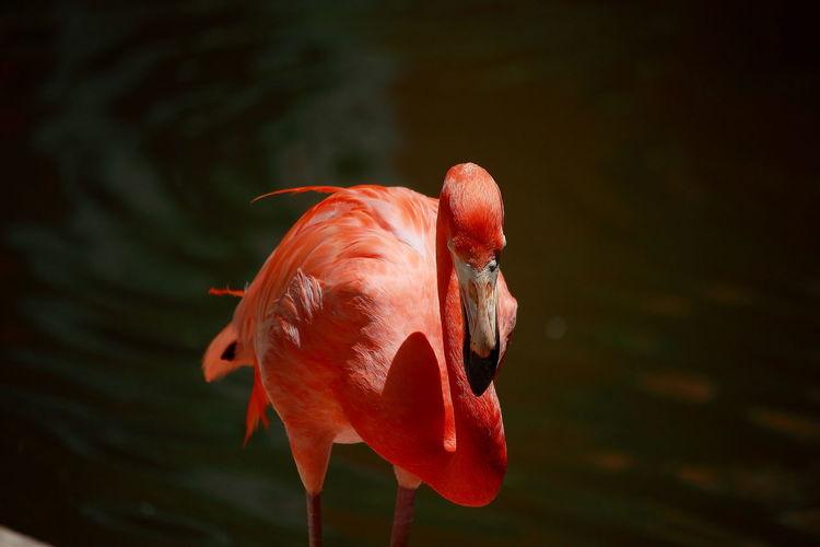 Flamingo against lake