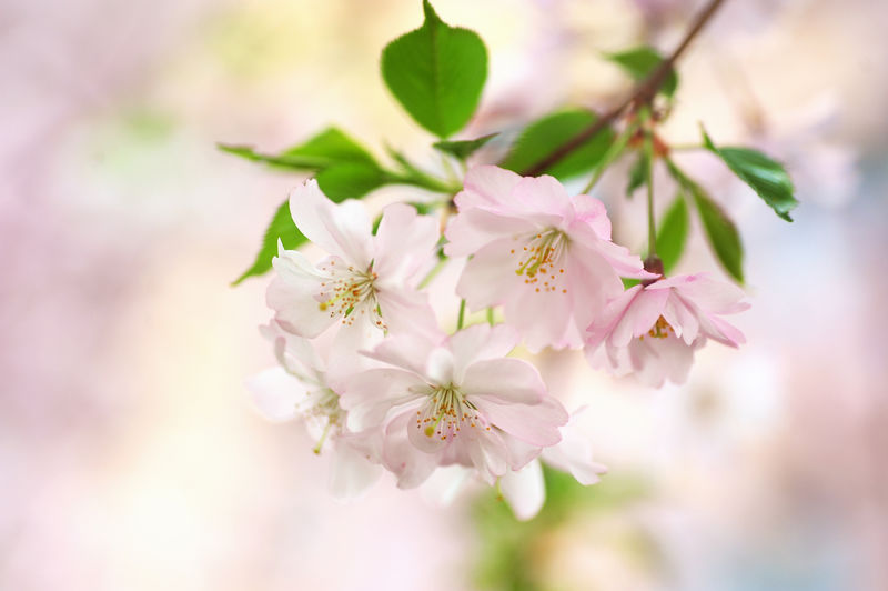 Beauty In Nature Blossom Branch Cherry Blossom Cherry Tree Close-up Day Flower Flower Head Fragility Freshness Growth Nature No People Outdoors Petal Plant Sakura Bloom Sakura Blossom Sakura Close Up Springtime Tender Bloo Tree Twig
