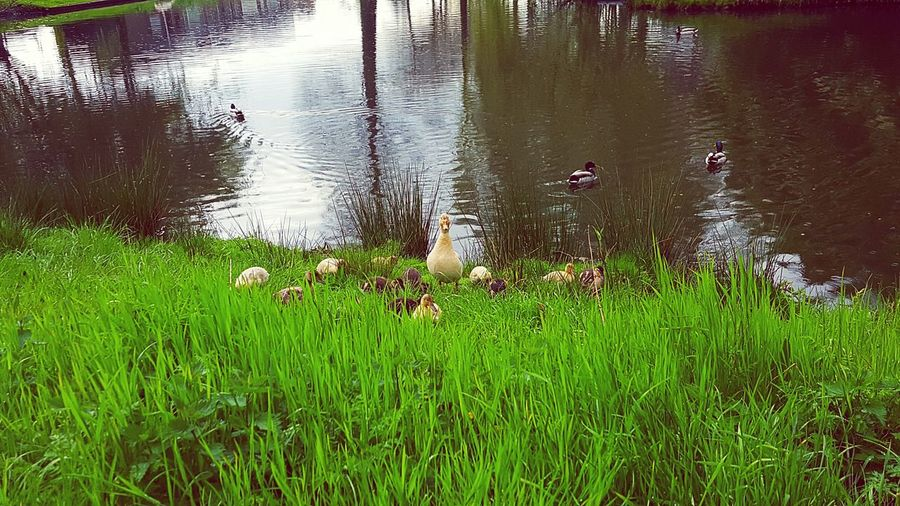 Showcase April Nature Photography Duck Baby Ducks Duckling Water Spring Green Grass Lake View New Life Born To Be Wild Proud Mommy Mother Duck With Ducklings Fame The Great Outdoors - 2016 EyeEm Awards