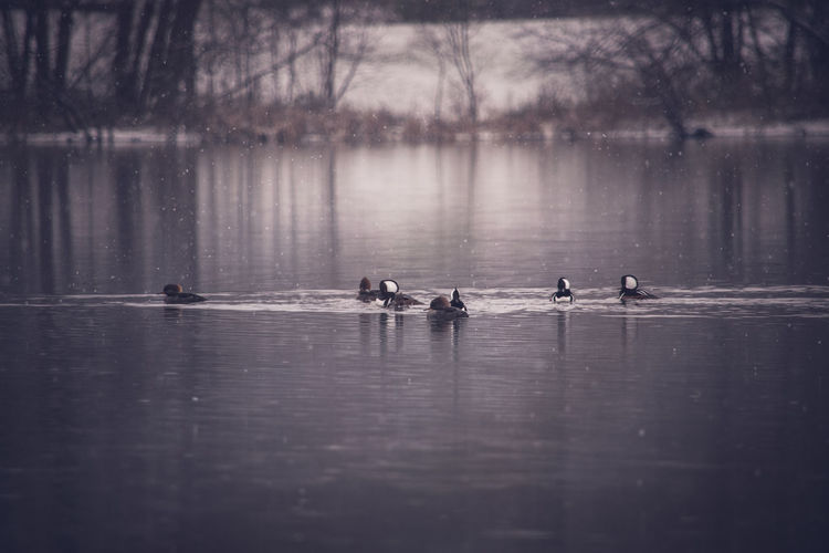 Lake Water Tranquility Nature EyeEm Nature Lover Wildlifephotography Wintertime Winter Colors Winter Animal Wildlife Wildlife Photography Waterfront Riverside Photography My Point Of View Wildlife Birds Hooded Merganser Animal Photography Wildlife & Nature