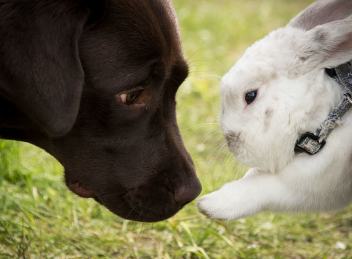 Side view of chocolate labrador and rabbit outdoors