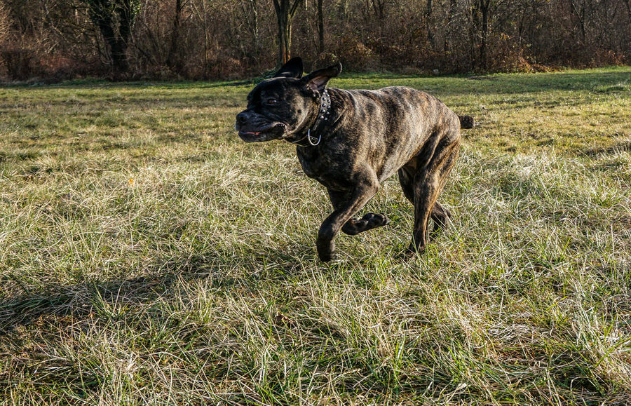 Active Active Dog Big Dog Cane Corso Daily Walk Day Fast Fast Dog Fast Dogs Field Grass Mastiff Nature Playing Dog Playing With My Dog Running