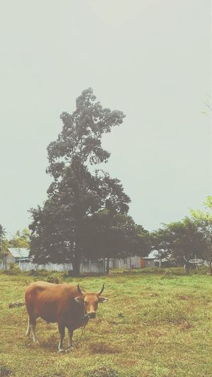 Cow around regional hospital jailolo.. First Eyeem Photo
