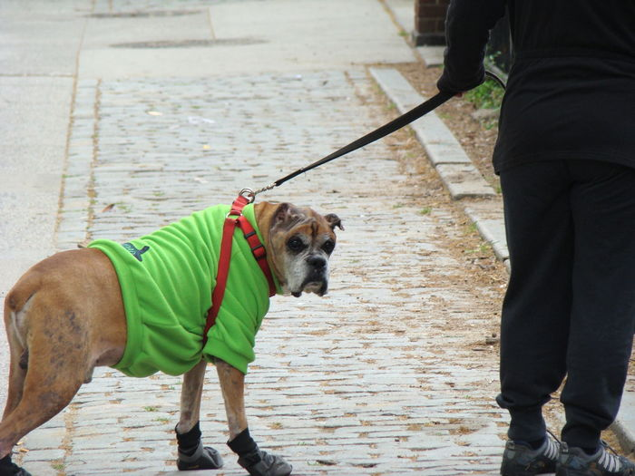 Boxer Dog Casual Clothing Day Dog Domestic Animals Leisure Activity Lifestyles Mammal Outdoors Pet Collar Pet Owner Pets Warm Clothing