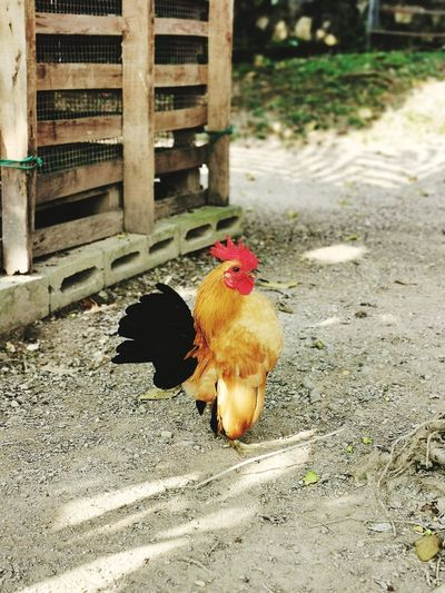 Pygmy rooster