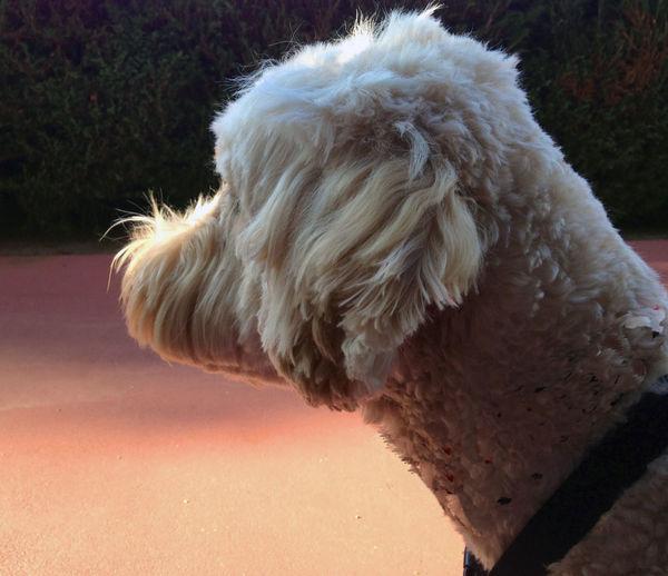 Close-up of goldendoodle dog
