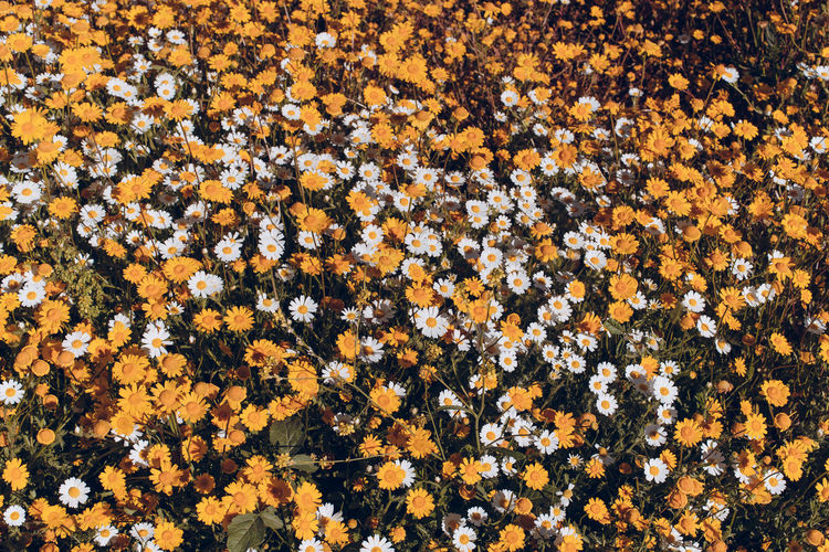 Flower Flowering Plant Full Frame Beauty In Nature Freshness High Angle View No People Yellow Nature Backgrounds Plant Fragility Vulnerability  Pattern Field Abundance Growth Day Land Large Group Of Objects Flowerbed