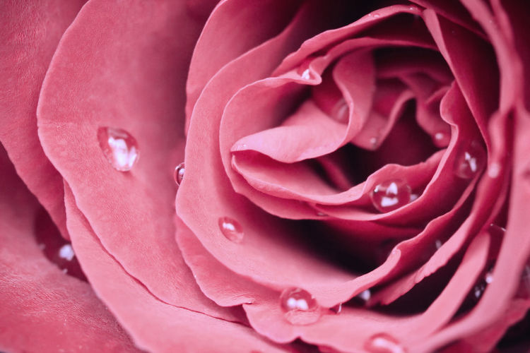 Full Frame Shot Of Wet Pink Rose
