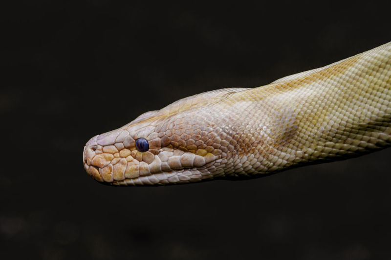 Animal Animal Body Part Animal Eye Animal Head  Animal Markings Animal Themes Beauty In Nature Black Background Close-up Day Focus On Foreground Natural Pattern Nature No People Outdoors Selective Focus Snake Snake Wildlife