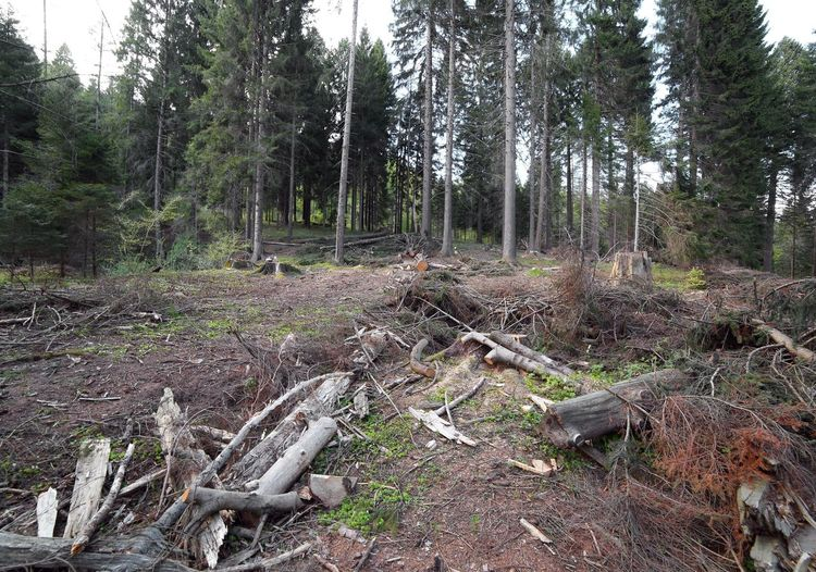 great forests of conifers and beech trees during deforestation by man Coniferous Tree Trees Wood Beech Beech Forest Beech Tree Beech Trees Day Deforestation Deforestation Effect Destruction Disaster Forest Lamberjack Nature Naturelovers No People Outdoors Scenics Sky Tree Tree Trunk WoodLand Woodland Path