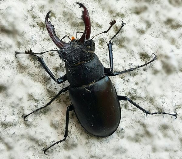 Stag Beetle Lucanus Cervus Male Beetle Battered Beetle Horned Insect Horned Beetle Scary Beetle Big Insect England Wall In Dorset Black Beetle Bugs