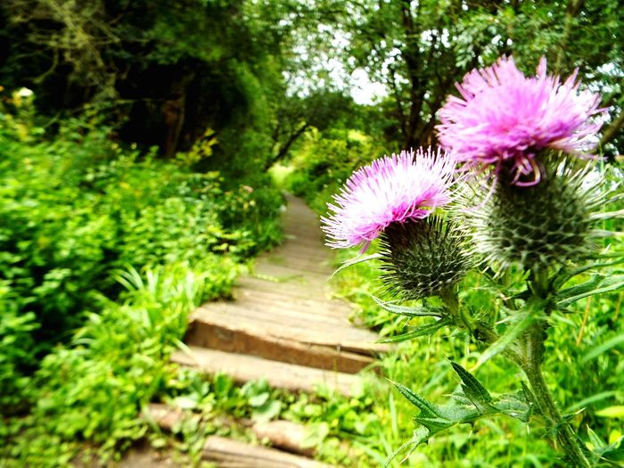 Flower Nature Plant Growth Beauty In Nature Outdoors No People Flower Head Green Color Day Close-up Freshness Thistle Walk Walking Boardwalk Breathing Space