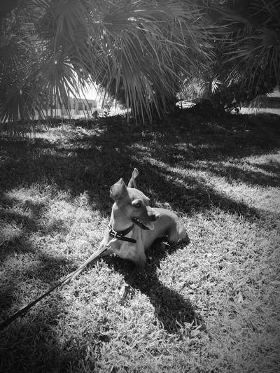 Mini Pincher Mini Pinscher Nature Land Sunlight Day One Animal Dog Canine Animal Themes Animal