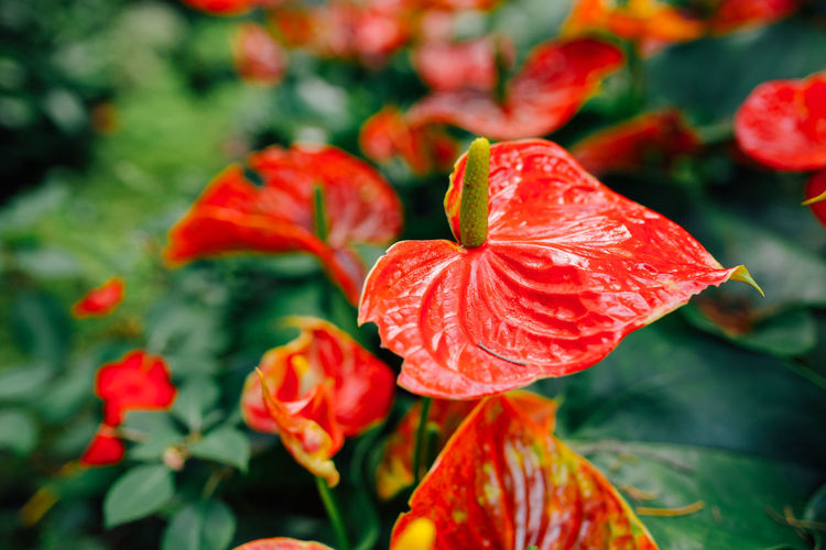 Anthurium in garden. Flowering Plant Flower Beauty In Nature Plant Freshness Petal Fragility Vulnerability  Close-up Flower Head Growth Red Nature Focus On Foreground Orange Day Botany Outdoors Anthurium Flower