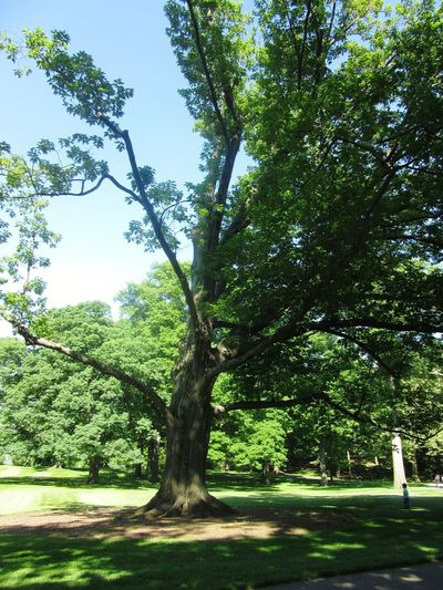 Tree_collection  Tree Trunk Leaves Lopsided Tree Branch Tree Trunk Shadow Sky Landscape Green Color Growing Lush Foliage Green Plant Life