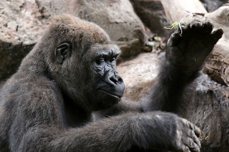 Close-up side view of a gorilla