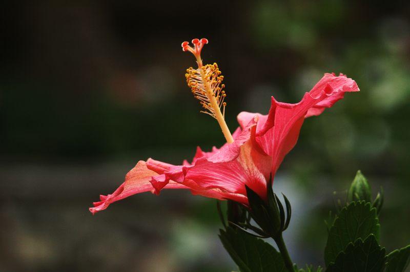 🌺Pink Color Flower Head Flower Spring Nature Frühling Plant Peru Tropical Plant Tropical Paradise Tropical Climate Tropical Tropical Flowers