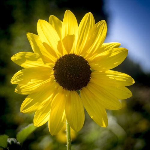 A sunflower on a sunny day. Sunflower Beauty In Nature Blooming Blue Day Flower Flower Head Focus On Foreground Fragility Freshness Growth Nature No People Outdoors Petal Plant Sky Yellow