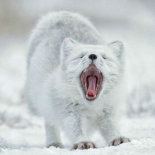 Close-up of arctic fox yawning while standing on snow
