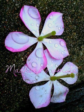 Fallen flowers.. 🌼🌸 Flowers Flowers In My Garden Flowers In Rain Rain Rain Photography Rain Drops On Flowers Raindrops Rain Drops On Petals Rain Drops On Pink Flowers Mobile Photography Contrasting Colors Naturesbeauty Showcase June Two Is Better Than One