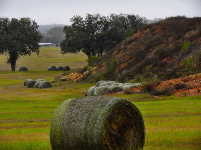 Rich fall color on a cloudy morning Field Bale  Hay Bale Agriculture Tree Nature Grass Hay Tranquility Landscape Tranquil Scene No People Beauty In Nature Outdoors Scenics Day Rural Scene Green Color Haystack Sky