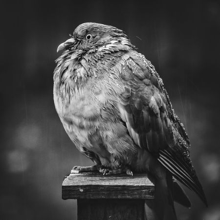 A drizzly rainy day and a lonesome puffed up pigeon sits the day out.... waiting for the rain to pass. Bird Photography Rainy Days Weather Animal Animal Themes Animal Wildlife Animals In The Wild Bird Birds Blackandwhite Close-up Day Focus On Foreground Full Length Looking Looking Away Nature No People One Animal Outdoors Perching Pigeon Side View Vertebrate Wood - Material