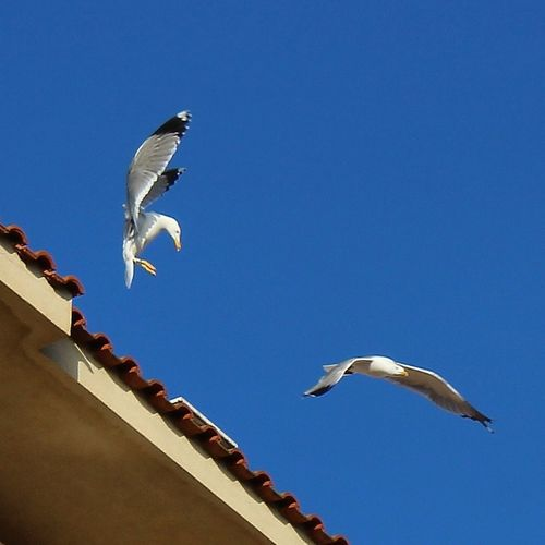 Gabbiani Flying High Seagulls Flying Over Me Seagulls Colors Of Nature Beauty In Nature Photography In Motion Showing Imperfection My Favorite Photo Nature's Diversities Two Is Better Than One