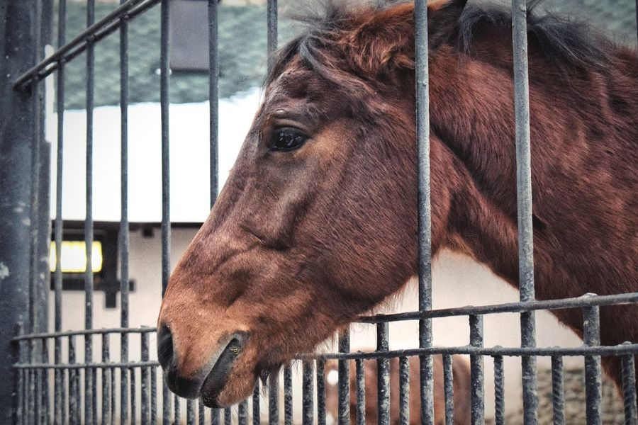 Horse in the Zoo Horse Domestic Animals Animal Themes Brown One Animal Stable Close-up Livestock Mammal Day No People Indoors  Nature Horse Photography  Animal Body Part Animal Head  Animal Animal Photography Zoo